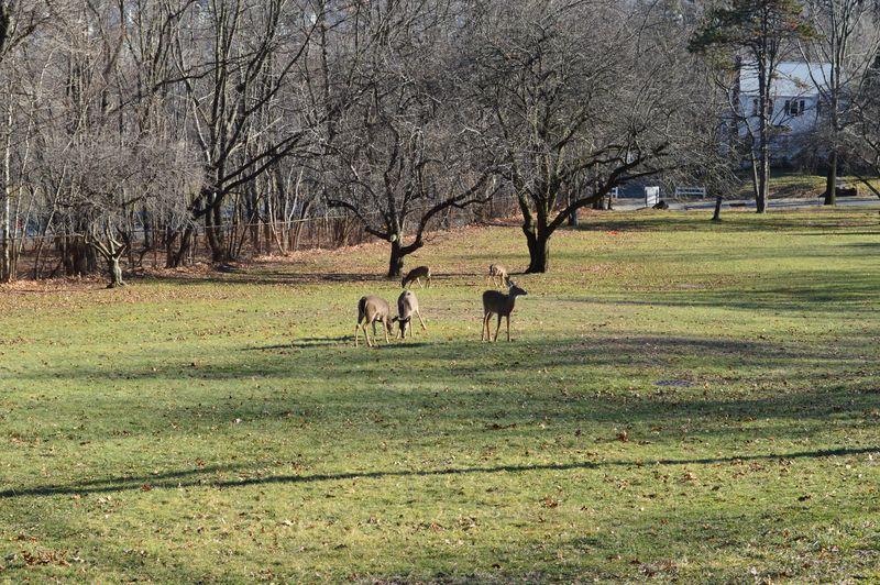 Five Deer at Mountain Park, Garret Mountain, Paterson, NJ