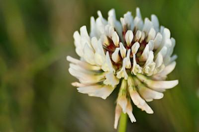 clover-1-thumb.jpg