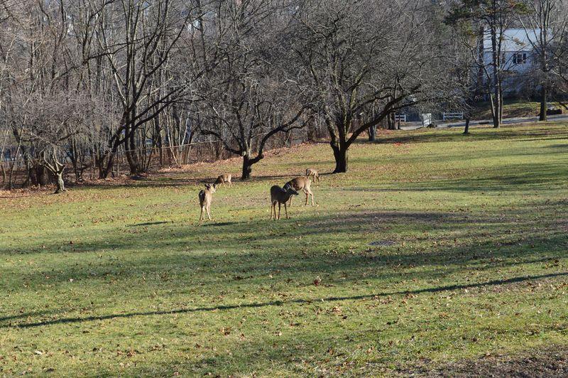 Herd of Deer in Paterson, NJ