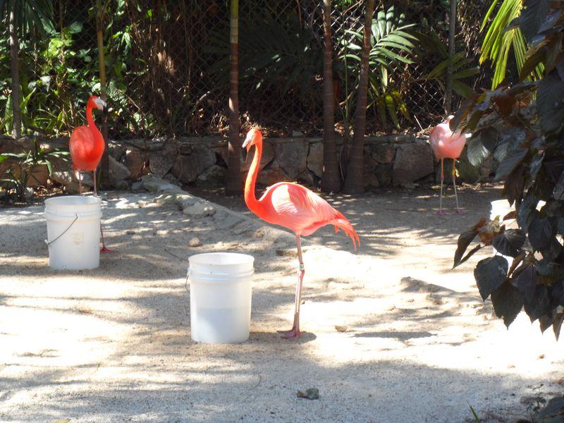 Flamingoes feeding bucket